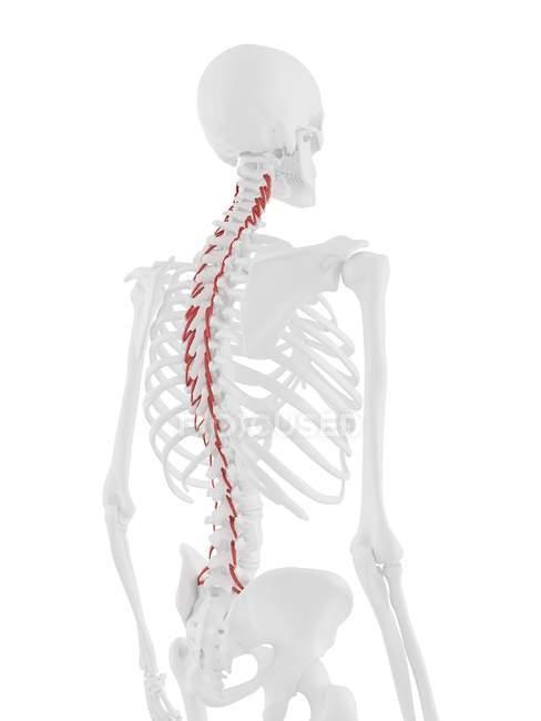 Esqueleto humano con el músculo Rotatores de color rojo, ilustración digital . - foto de stock