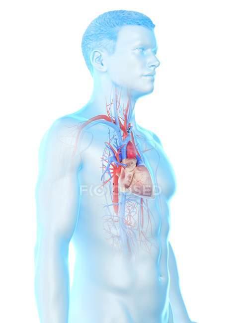 Silhueta do corpo masculino mostrando anatomia do coração, ilustração do computador . — Fotografia de Stock