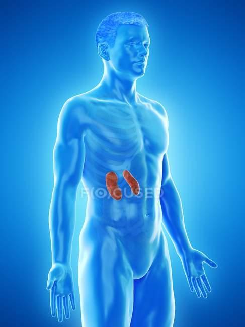 Anatomia masculina com rins coloridos visíveis, ilustração computacional . — Fotografia de Stock