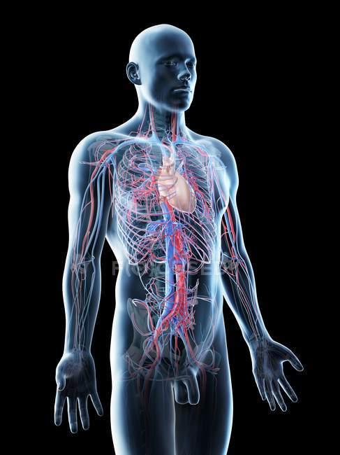 Anatomia masculina mostrando sistema vascular, ilustração computacional . — Fotografia de Stock