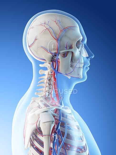 Vasos sanguíneos de cabeza y cuello humanos, ilustración digital . - foto de stock