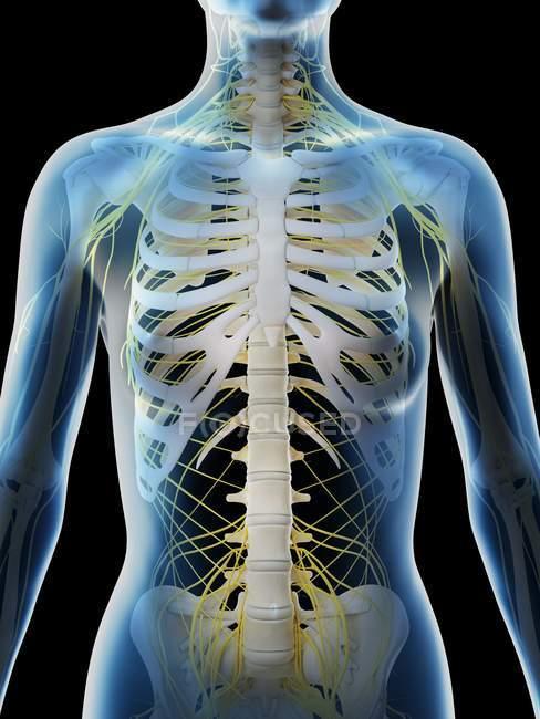Système nerveux du haut du corps féminin, illustration par ordinateur . — Photo de stock