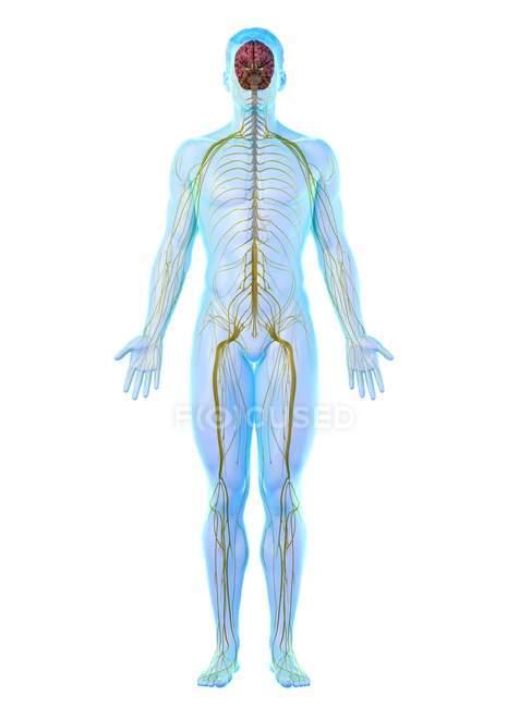 Sistema nervoso do corpo masculino, ilustração do computador . — Fotografia de Stock