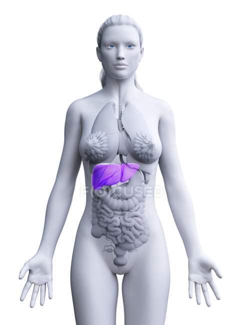 Silueta femenina con hígado detallado sobre fondo blanco, ilustración por ordenador . - foto de stock