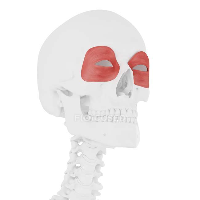 Human skeleton with red colored Orbicularis oculi muscle, digital illustration. — Stock Photo