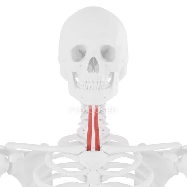 Squelette humain avec muscle stérénohyoïde de couleur rouge, illustration numérique . — Photo de stock