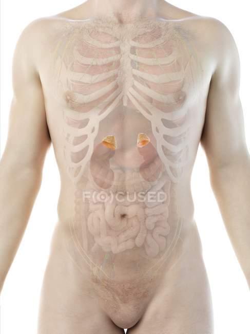 Cuerpo masculino con glándulas suprarrenales, ilustración por ordenador . - foto de stock