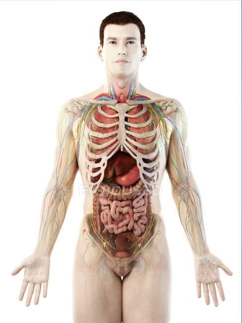 Модель людського тіла, що показує чоловічу анатомію і кровоносні судини, цифрова ілюстрація. — стокове фото