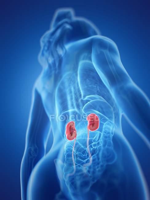 Vista de ángulo bajo del cuerpo femenino con riñones de colores, ilustración por computadora . - foto de stock