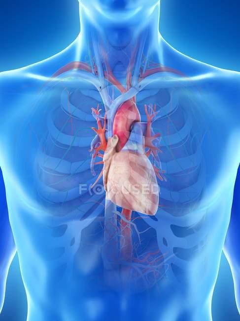 Anatomía del corazón en el tórax masculino, ilustración por ordenador . - foto de stock