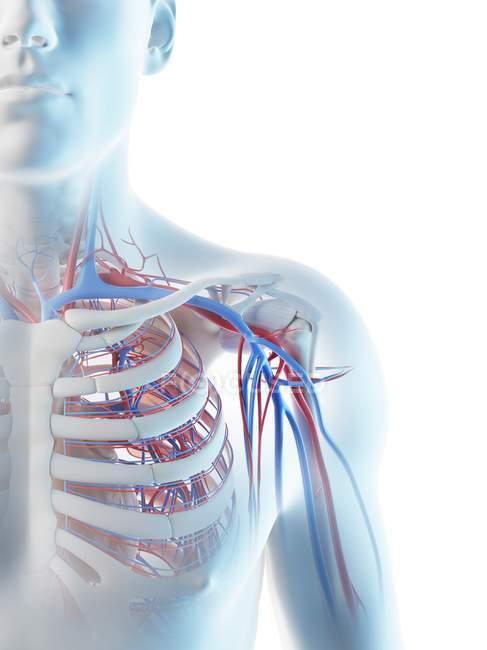 Vasos sanguíneos del hombro humano, ilustración digital . - foto de stock