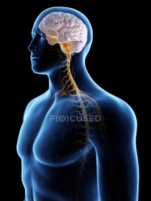 Silueta masculina abstracta con cerebro visible y nervios del sistema nervioso, ilustración por ordenador . - foto de stock