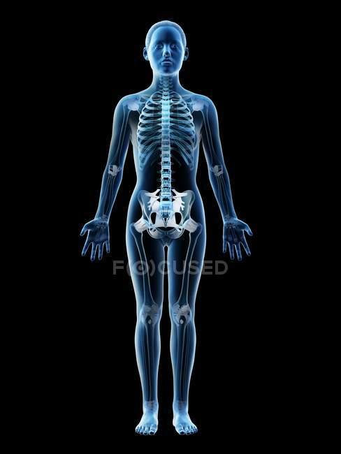 Esqueleto y ligamentos femeninos en cuerpo transparente, ilustración por ordenador . - foto de stock