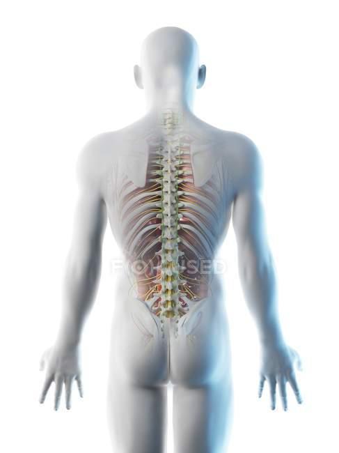 Anatomía dorsal masculina y sistema esquelético, ilustración por computadora . - foto de stock
