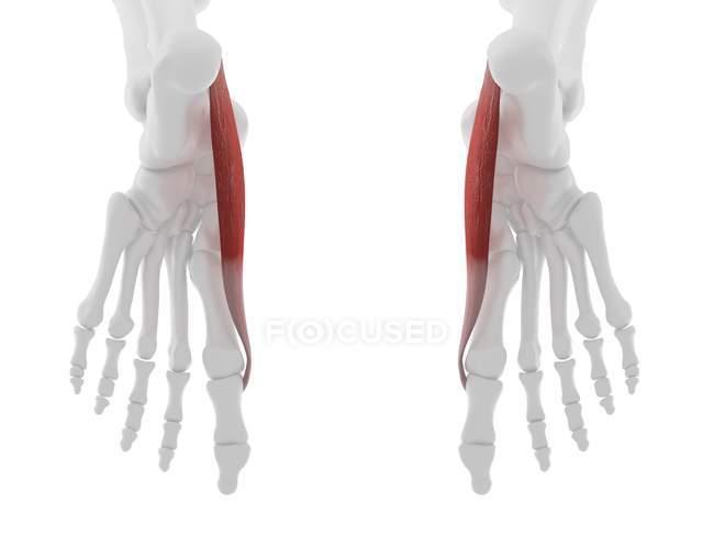 Parte del esqueleto humano con detallado músculo rojo de Abductus hallucis, ilustración digital . - foto de stock