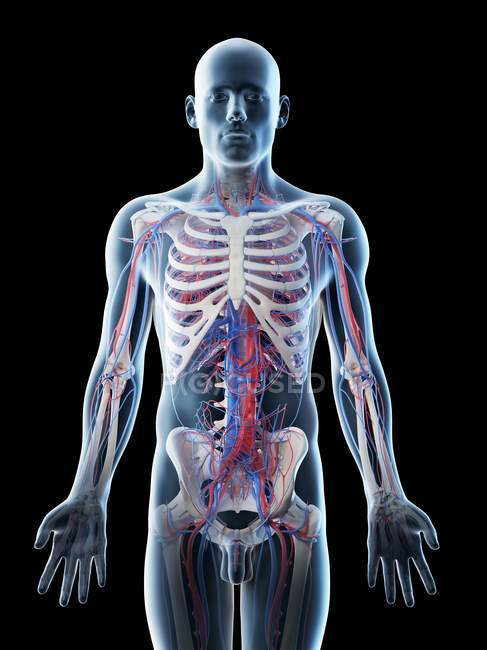 Мужская анатомия сосудов, компьютерная иллюстрация. — стоковое фото