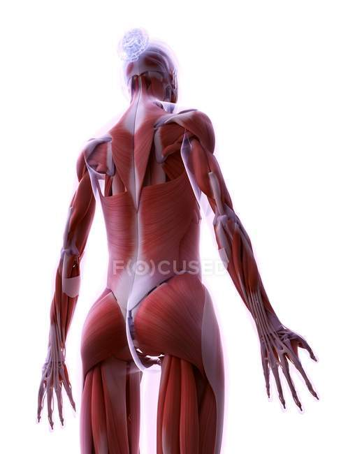Estructura realista de la musculatura femenina, ilustración digital . - foto de stock