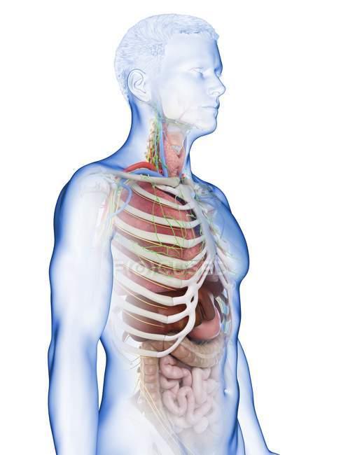 Modello realistico del corpo umano che mostra l'anatomia maschile con organi interni dietro le costole, illustrazione digitale . — Foto stock