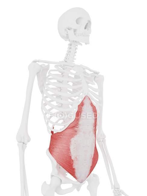 Modelo de esqueleto humano con músculo abdominal Transversus detallado, ilustración por computadora . - foto de stock