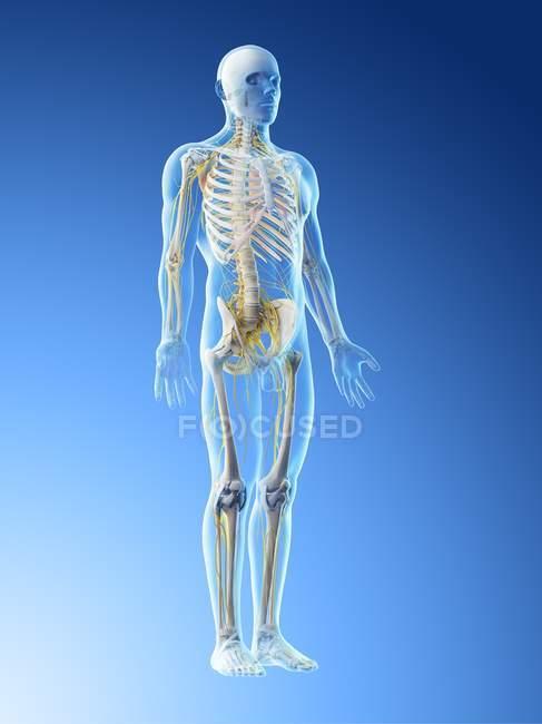 Мужская нервная система в силуэте тела, компьютерная иллюстрация . — стоковое фото