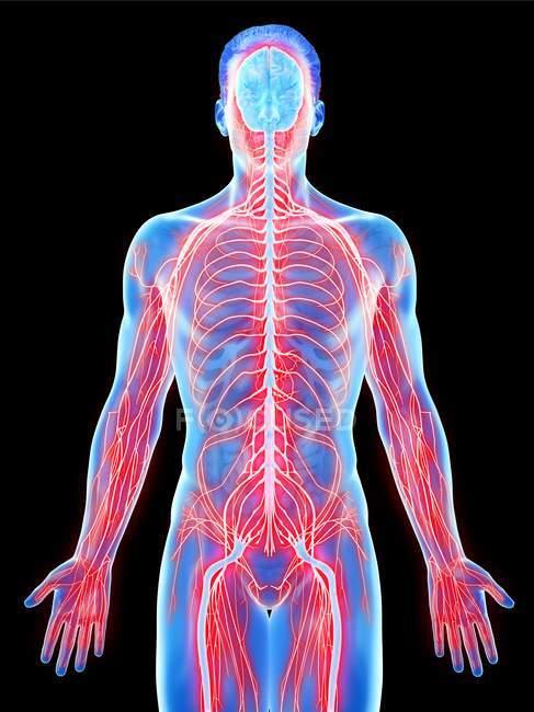 Sistema nervioso del cuerpo masculino, ilustración por computadora . - foto de stock