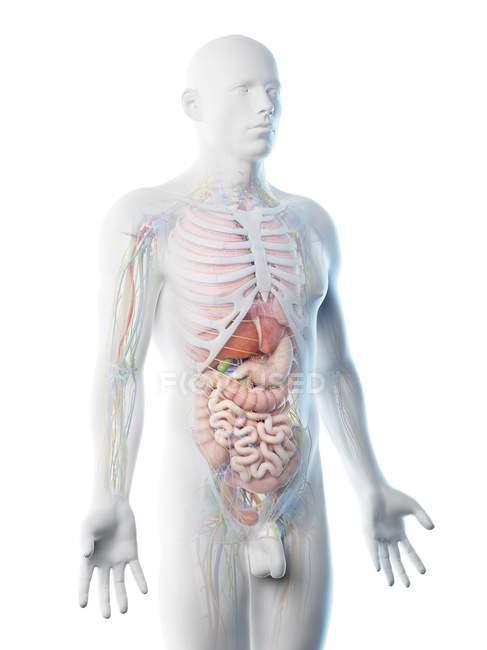 Чоловіча анатомія верхнього тіла і внутрішні органи, комп'ютерна ілюстрація. — стокове фото