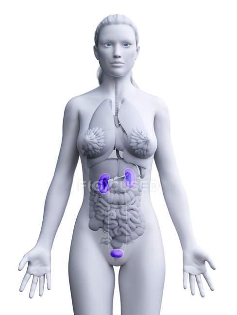 Жіноча сечова система, анатомічна цифрова ілюстрація. — стокове фото