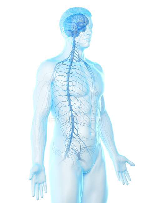 Male anatomy showing brain and nervous system, computer illustration. — Stock Photo