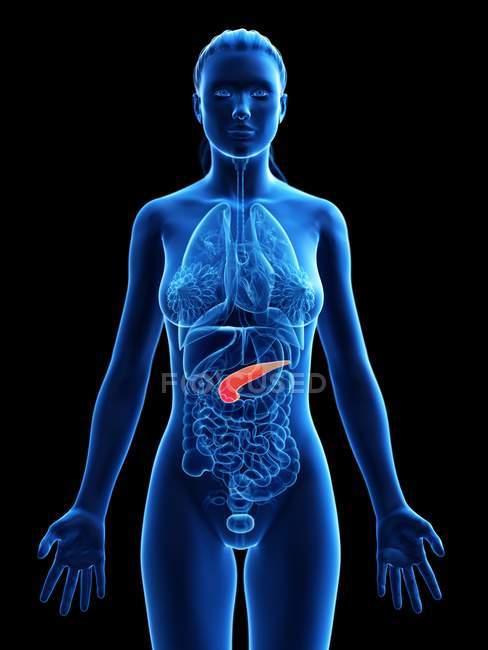 Páncreas en el cuerpo femenino, ilustración anatómica . - foto de stock