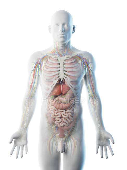 Male upper body anatomy and internal organs, computer illustration. — Stock Photo