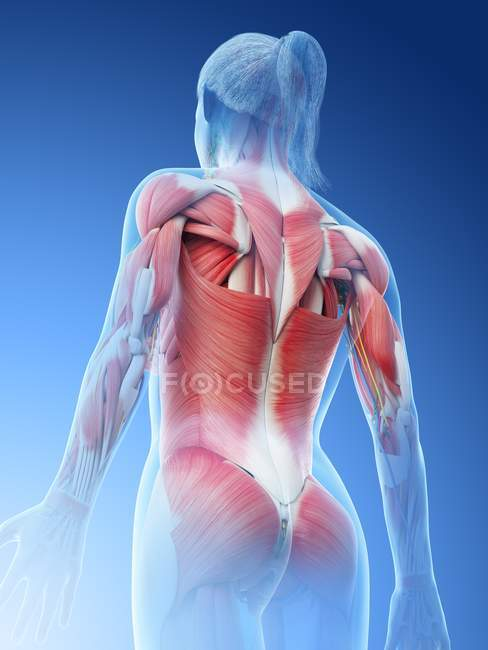 Female musculature of back, computer illustration. — Stock Photo