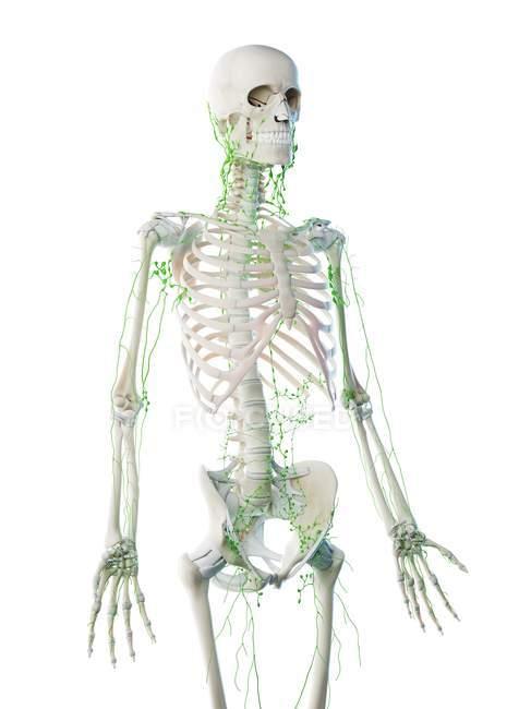 Cuerpo masculino abstracto con esqueleto visible y sistema linfático, ilustración por ordenador . - foto de stock