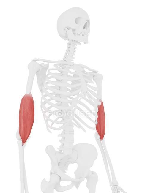 Parte del esqueleto humano con músculo braquial rojo detallado, ilustración digital . - foto de stock