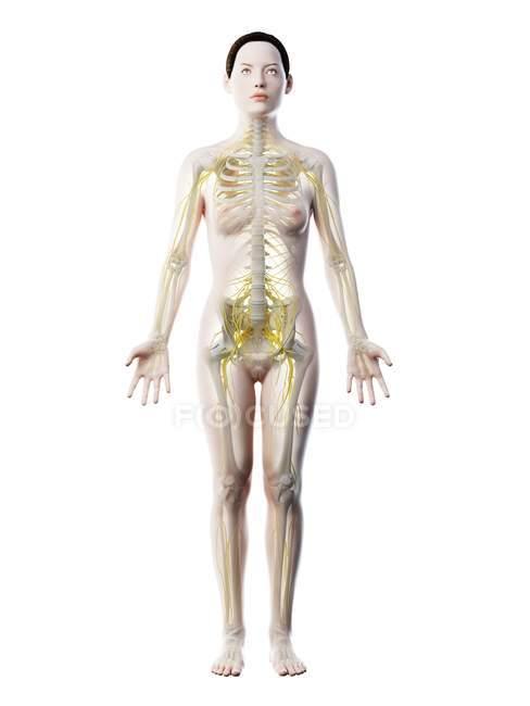 Silhouette du corps féminin avec système nerveux visible, illustration par ordinateur . — Photo de stock