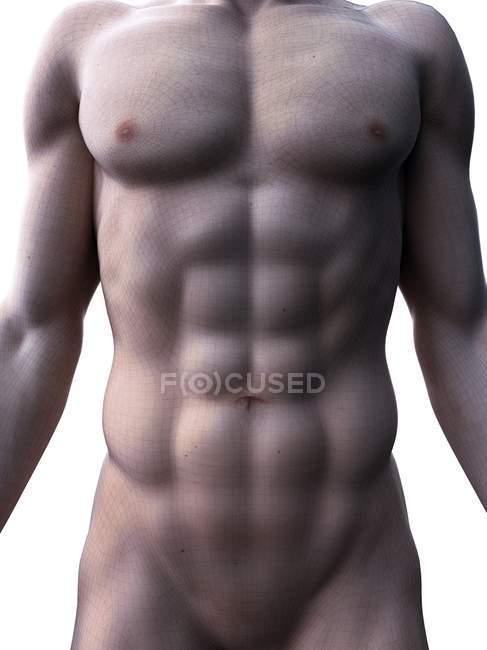 Rendu 3d masculin montrant les muscles abdominaux abdominaux, illustration de l'ordinateur . — Photo de stock