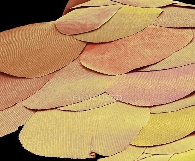 Micrographie électronique à balayage coloré des écailles d'insectes argentés fossiles vivants . — Photo de stock