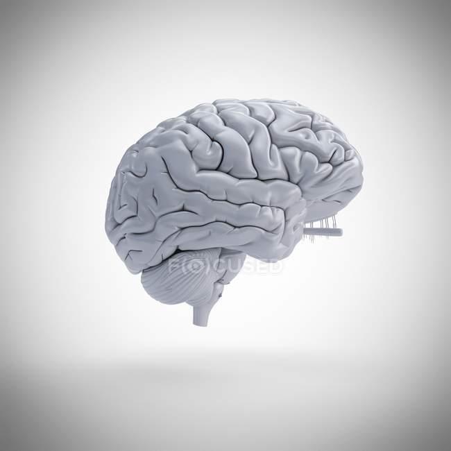 White human brain model on plain background, digital illustration. — Stock Photo