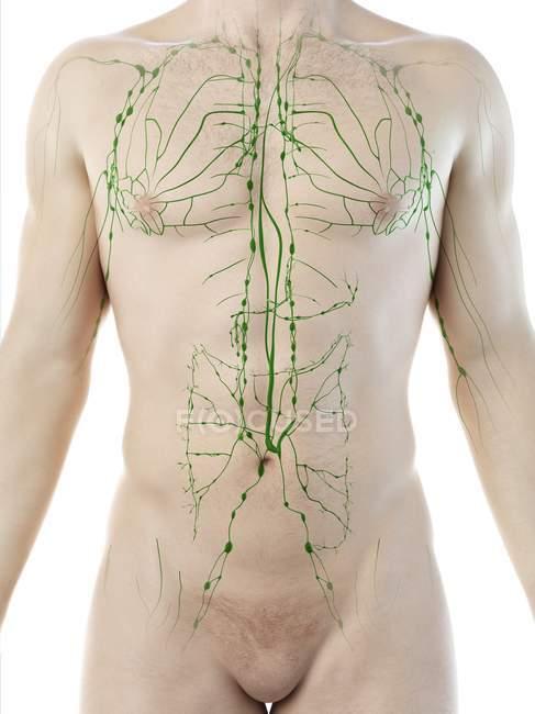 Modelo masculino anatómico que muestra el sistema linfático, ilustración digital . - foto de stock