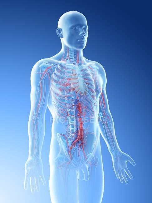 Anatomía masculina que muestra sistema vascular, ilustración por computadora . - foto de stock