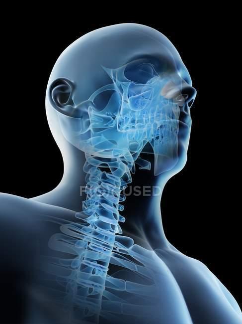 Абстрактний чоловічий голова і шия кістки, комп'ютерна ілюстрація. — стокове фото