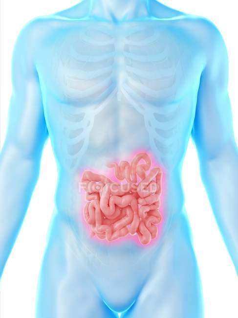 Silhueta masculina com intestino delgado visível no meio, ilustração digital . — Fotografia de Stock