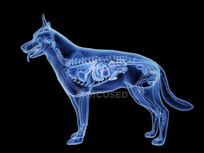 Dog silhouette with red colored pancreas on black background, digital illustration. — Stock Photo