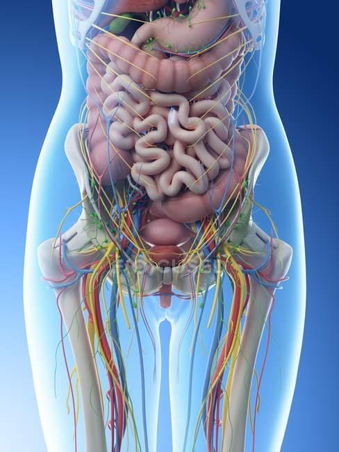 Женская анатомия брюшной полости и внутренних органов, компьютерная иллюстрация . — стоковое фото