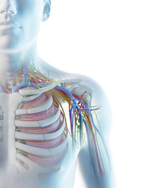 Anatomía del hombro masculino, ilustración digital . - foto de stock