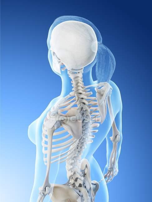 Anatomía de la espalda y el cuello femenino y sistema esquelético, ilustración por computadora . - foto de stock