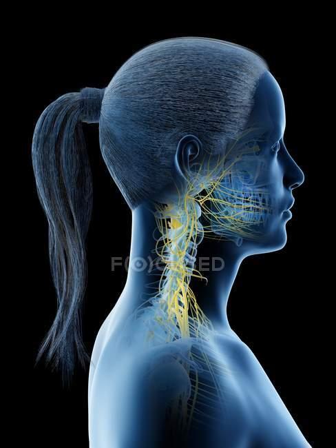 Sistema nervioso del cuello femenino, ilustración por ordenador . - foto de stock