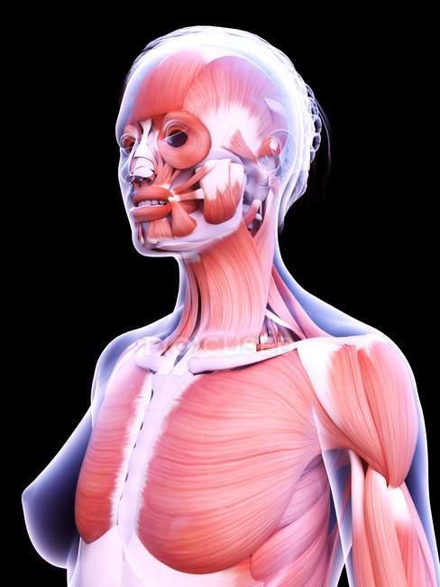 Struttura realistica della muscolatura femminile, illustrazione al computer . — Foto stock