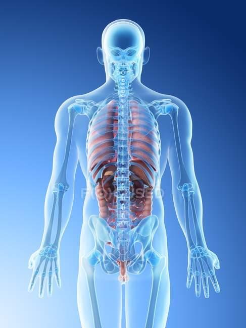 Прозрачная модель тела с мужской анатомией и внутренними органами, цифровая иллюстрация . — стоковое фото