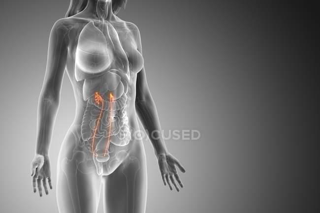 Uréter visible en cuerpo femenino abstracto, ilustración por ordenador . - foto de stock
