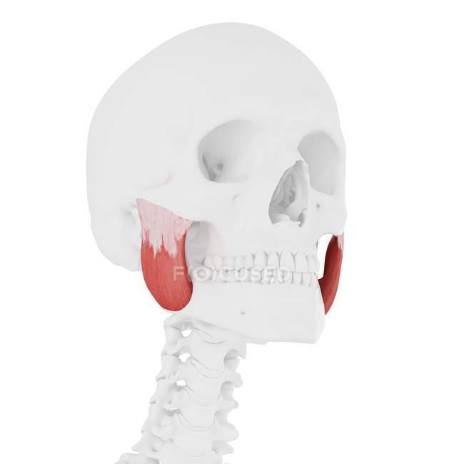 Menschliches Skelett mit rot gefärbtem Masseter überlegener Muskel, digitale Illustration. — Stockfoto